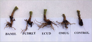 Effect of microbial fertilizers on cabbage roots infected with a clubroot of crucifers