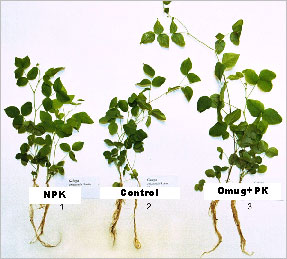 Effect of Omug on green and root development of Galega orientalis Lam